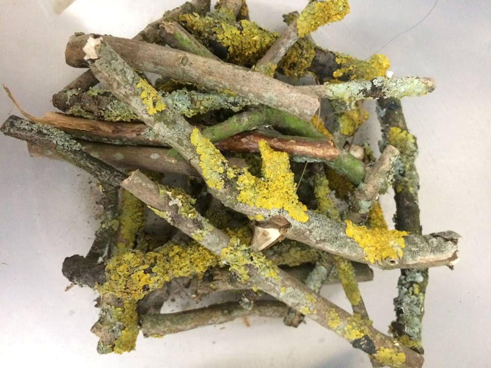Xanthoria lichen